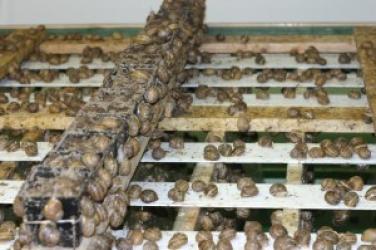 Zdjęcie główne #31 - Okazja na dobry, dochodowy biznes. Zostań hodowcą ślimaków