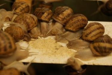 Zdjęcie główne #32 -   p.piwowarski@polishsnailholding.com Zbiór winniczka zakazany. Warto postawić na ślimaki z hodowli