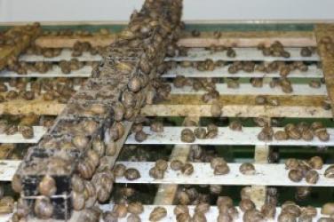 Zdjęcie główne #39 - Rewolucja w hodowli ślimaka. Jest nowa odmiana odporna na chłód