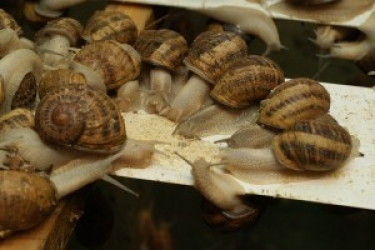 Zdjęcie główne #79 - Żywienie ślimaków ma duży wpływ na powodzenie hodowli