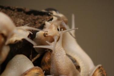Zdjęcie główne #77 - Hodowla ślimaków. Rozpoczął się proces wybudzania zwierząt