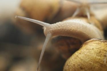 Zdjęcie główne #82 - Czy śluz ślimaka zwalcza bakterie? Trwają badania