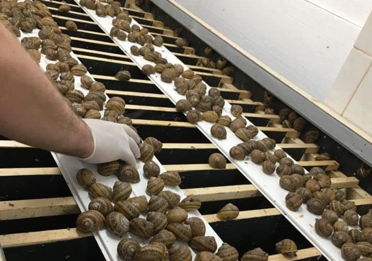 Zdjęcie główne #225 - Sekret udanej hodowli ślimaków? Doskonałej jakości reproduktory