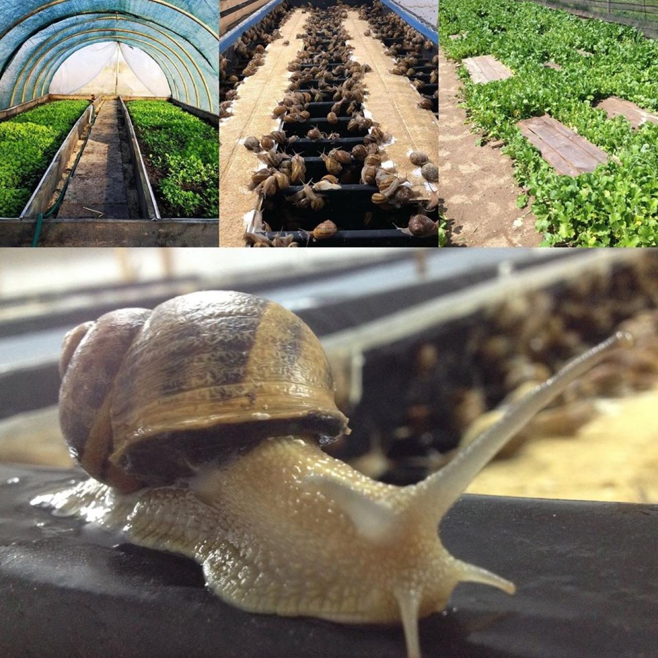 Zdjęcie główne #227 - Hodowcy ślimaków mogą sięgnąć po środki unijne