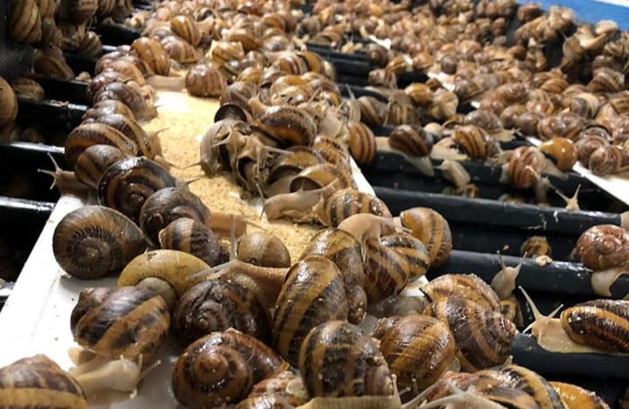 Zdjęcie główne #232 - Odpowiedniej jakości pasza jest kluczem do udanej hodowli ślimaków